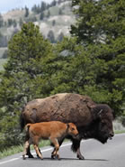 wp-bison