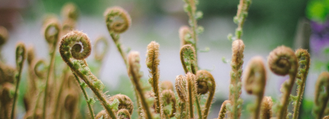 fern fronds unfurling