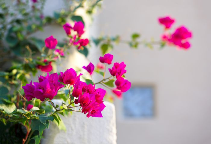 Blossoming bougainvillea, a popular warm weather ornamental vine with bracts, flower-like leaves, in home landscaping.