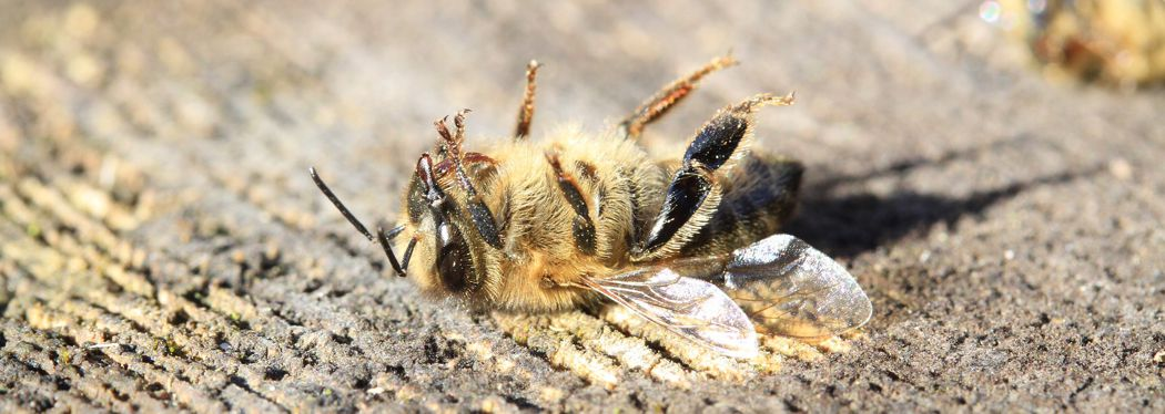 Dead bee from pesticide poisoning
