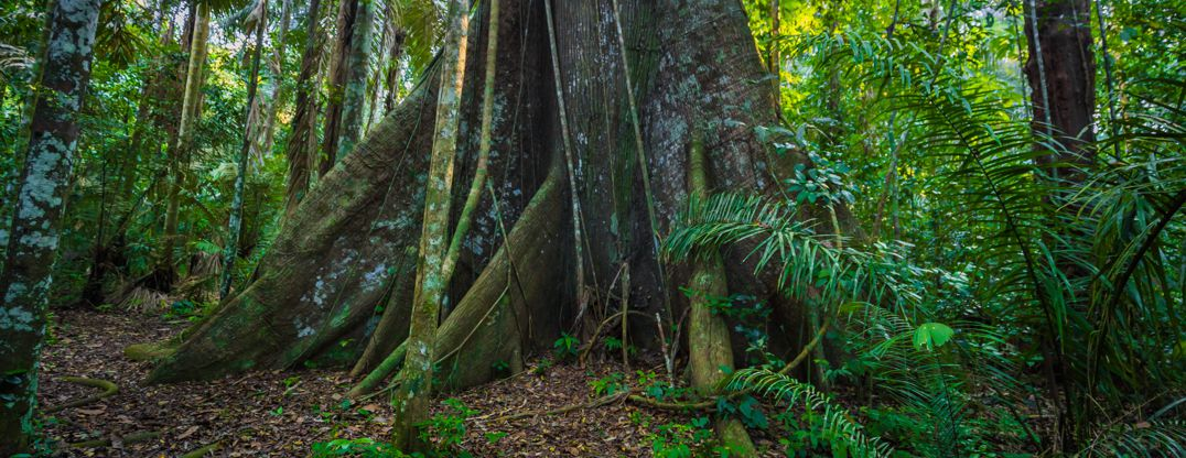 Manu National Park, Peru - August 07, 2017: Giant tree in the Amazon rainforest of Manu National Park, Peru