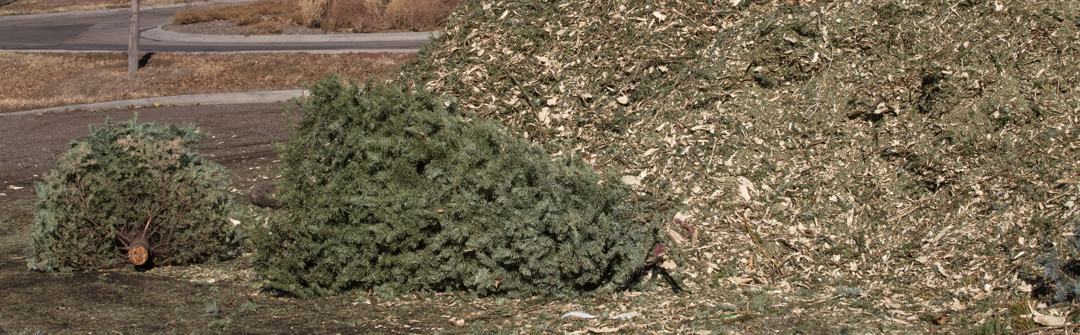 Christmas trees and composting pile