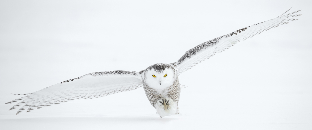 full wing span owl