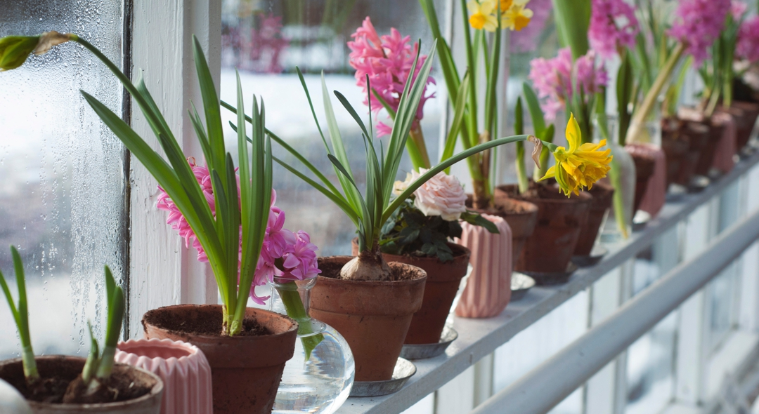 Potted flowers in window sill