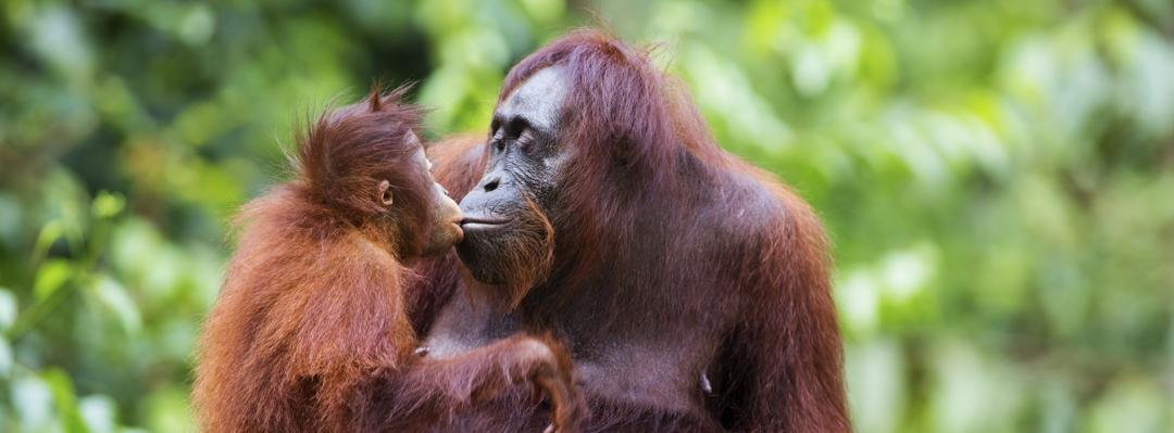 orangutan and baby orangutan
