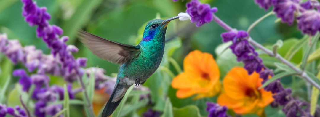 hummingbird extracting nectar in garden