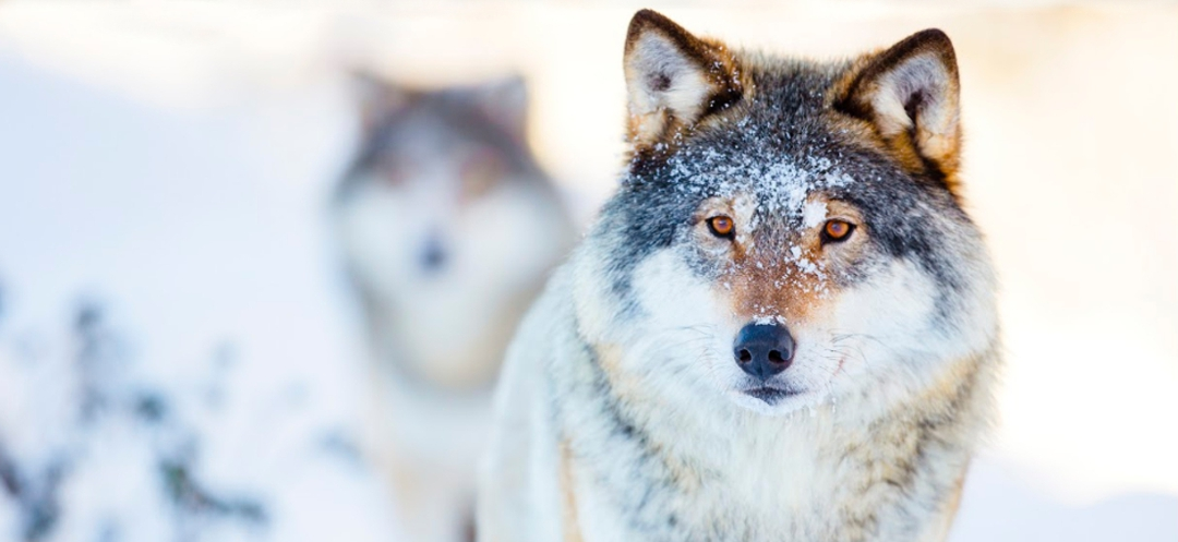 Beautiful wolves in winter setting