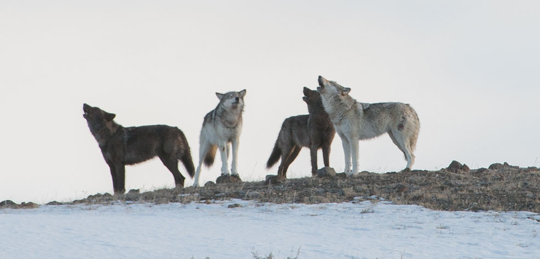 pack of 4 howling wolves
