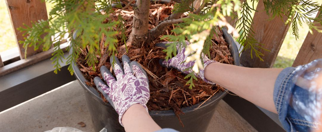 hands wearing gardening gloves planting a tree in a pot