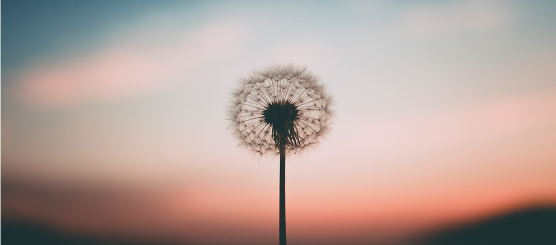 Single dandelion puff against the evening sky
