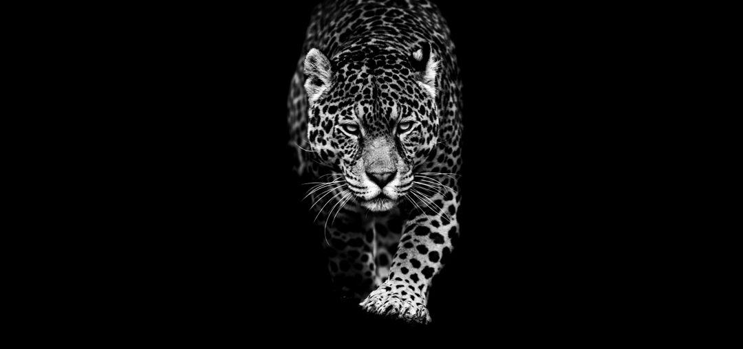 black and white photograph of jaguar walking toward camera