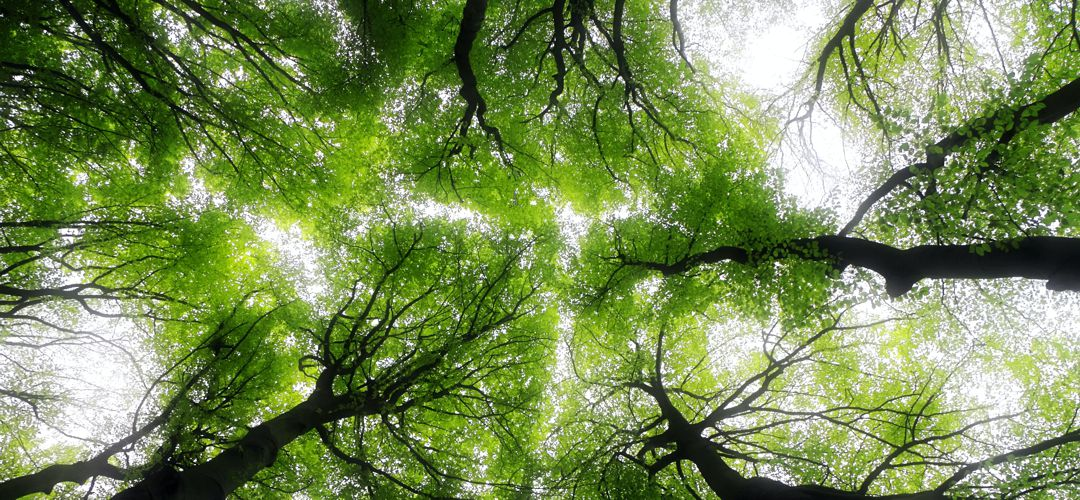 Looking upward at tree tops against the sky
