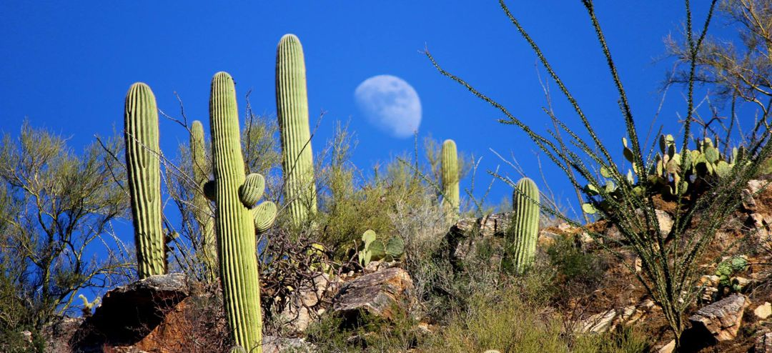Saguaro cactus against a very blue sky with daytime moon - photo by Nicci Radhe