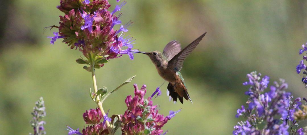 hummimgbird feeding on flowers